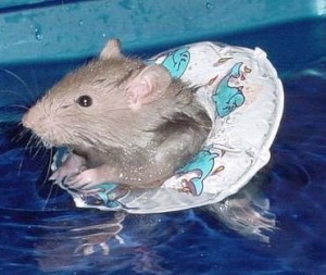 Rat-with-life-preserver